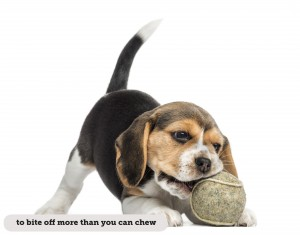 Beagle puppy playing with a tennis ball, isolated on white