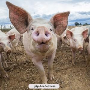 Idioms: Pig-headedness
