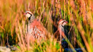 Wild Red-legged Partridge in natural habitat of reeds and grasses on moorland in Yorkshire Dales, UK.; Shutterstock ID 1211608180; Purchase Order: -